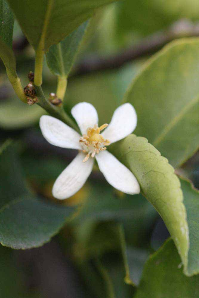 Citrus latifolia
