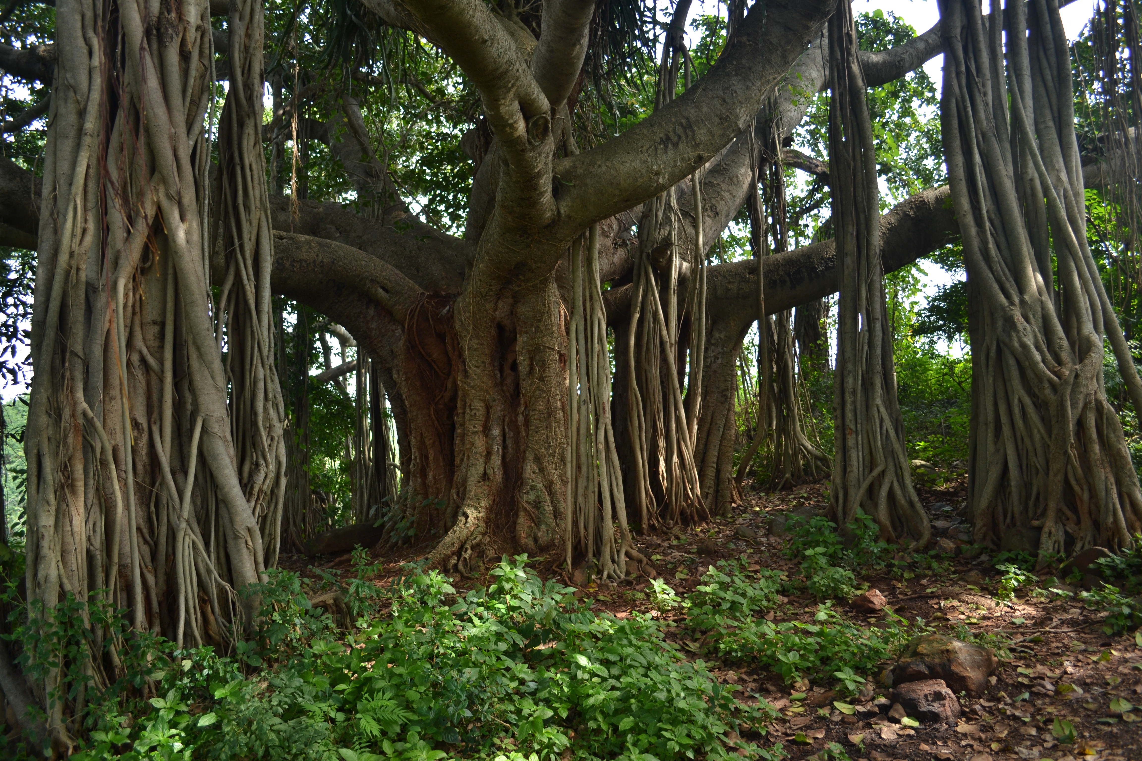 Ficus Benghalensis Images Useful Tropical Plants
