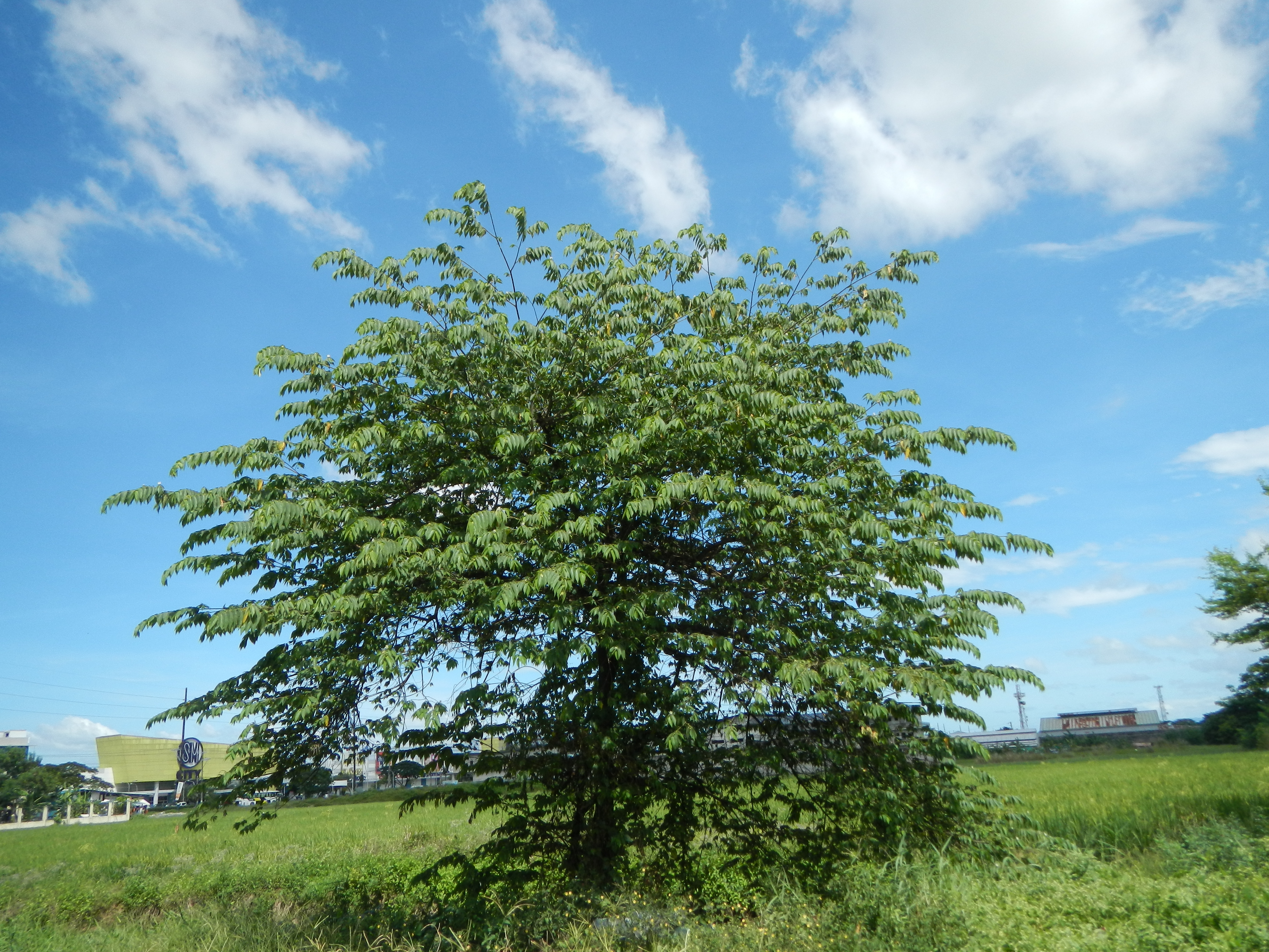the feasibility of ripe aratiles muntingia calabura The feasibility of ripe aratiles (muntingia calabura) as a source of bioethanol these days, the air pollution is very common and one factor for.