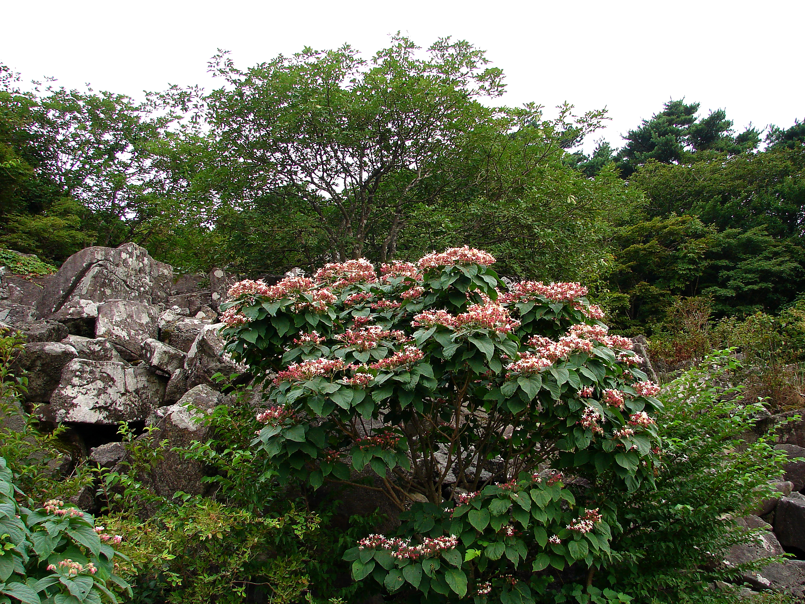 Clerodendrum trichotomum Images - Useful Tropical Plants