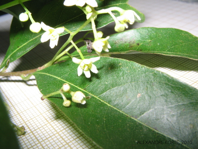 Nectandra megapotamica