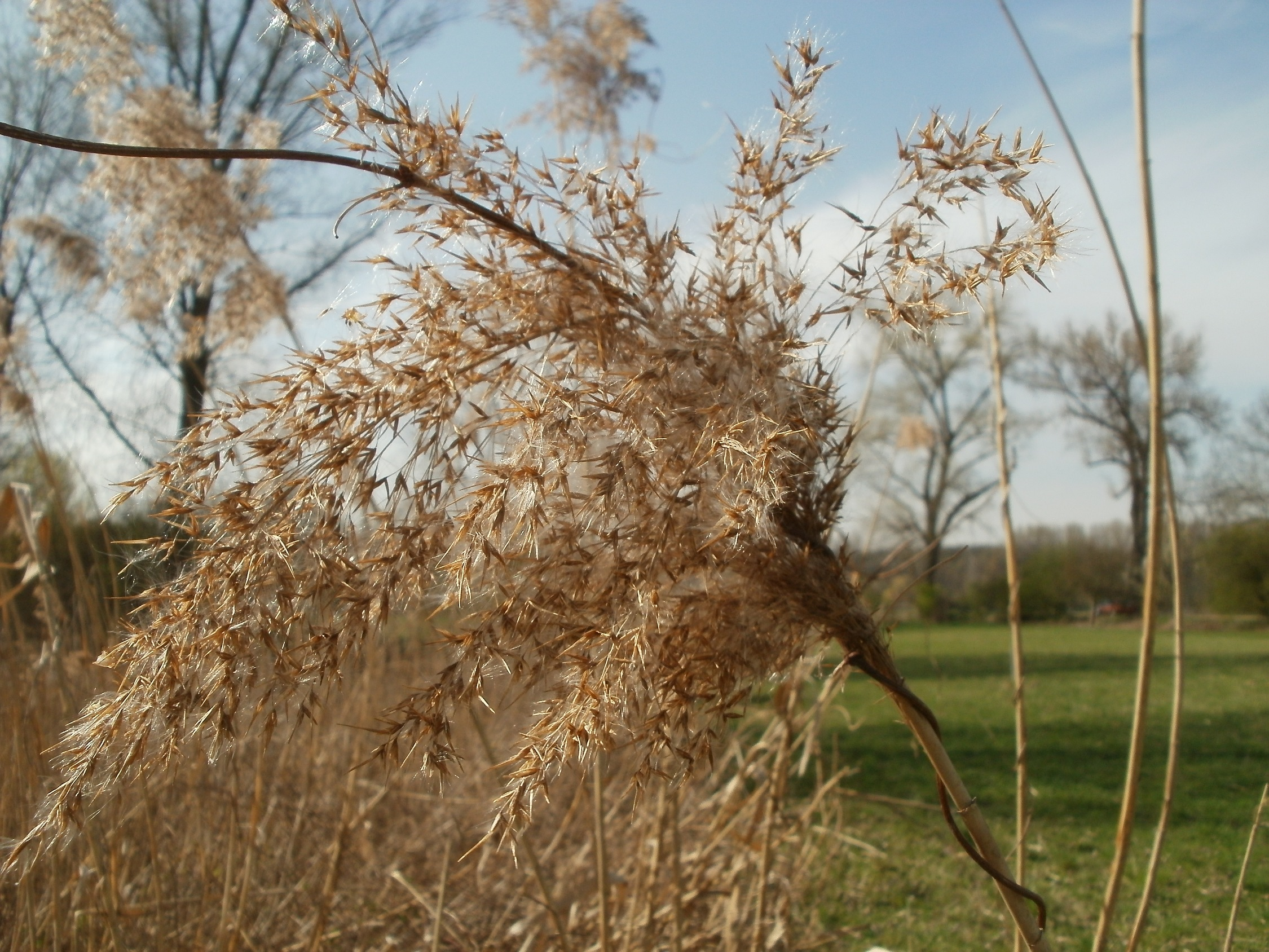 Phragmites australis Images - Useful Tropical Plants