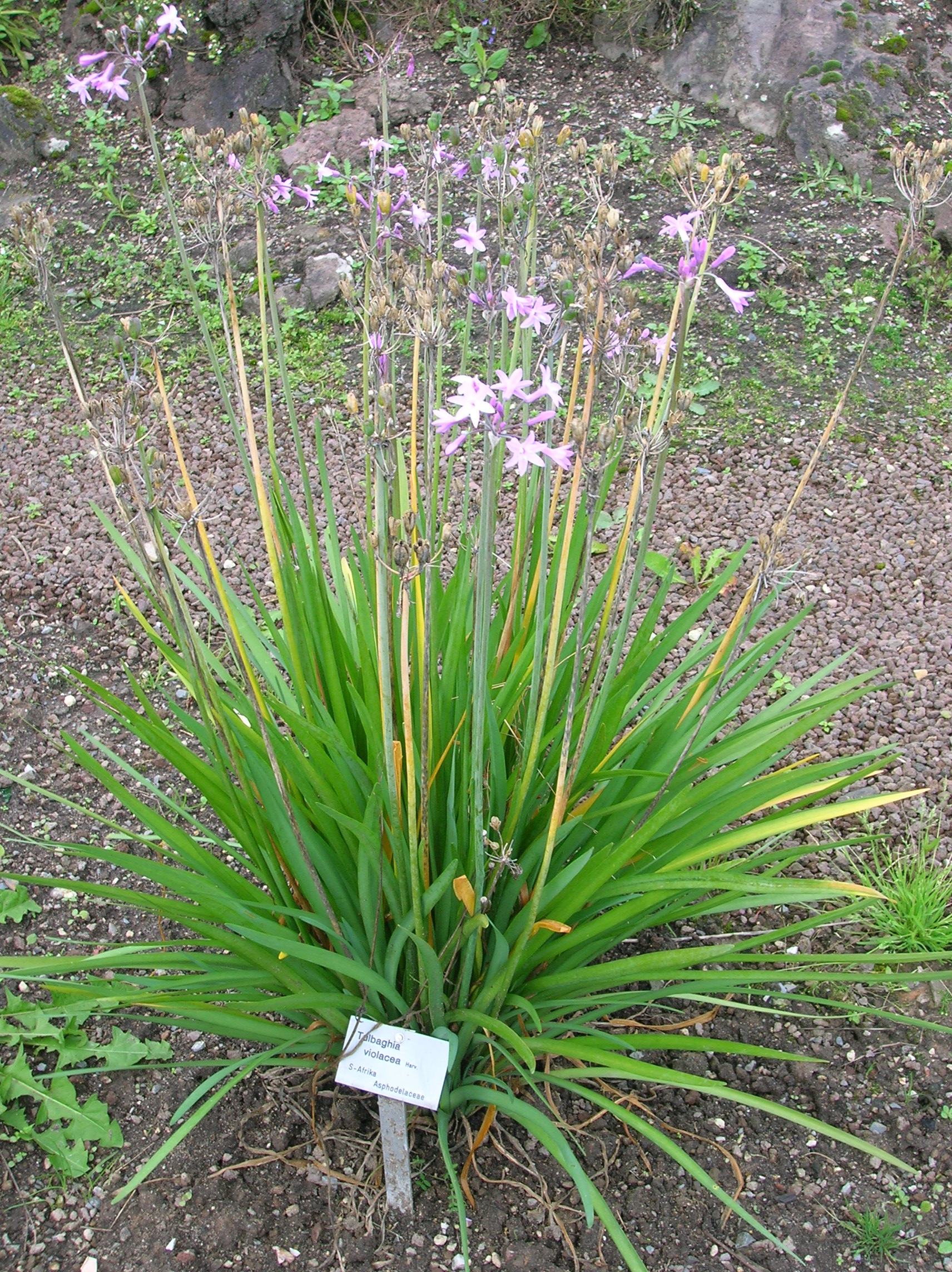 Tulbaghia violacea images useful tropical plants for Planting a garden