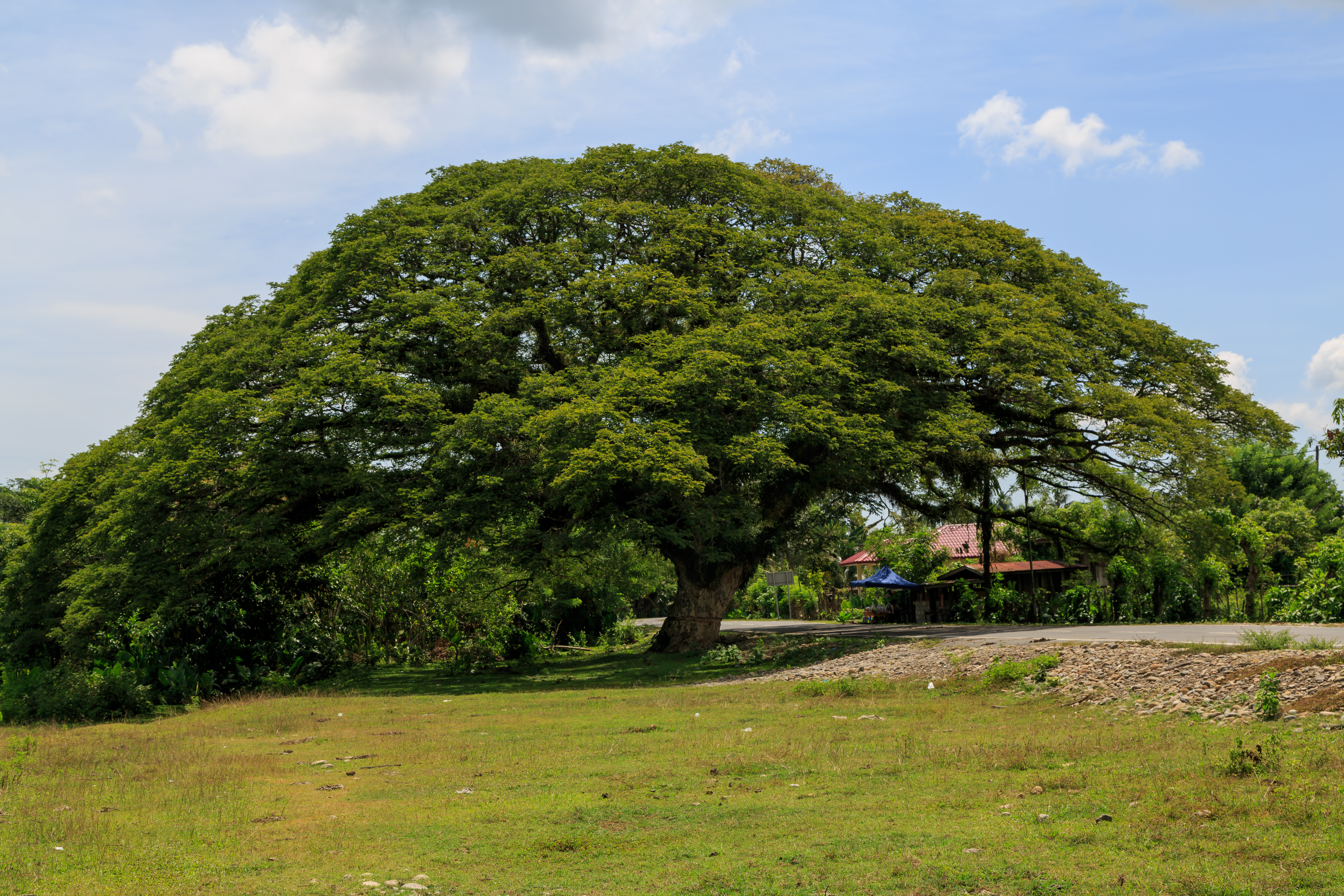 Typical tree with wide-spreading canopy. Photograph by CEphoto Uwe Aranas Creative Commons Attribution-Share Alike 3.0 & Samanea saman - Useful Tropical Plants