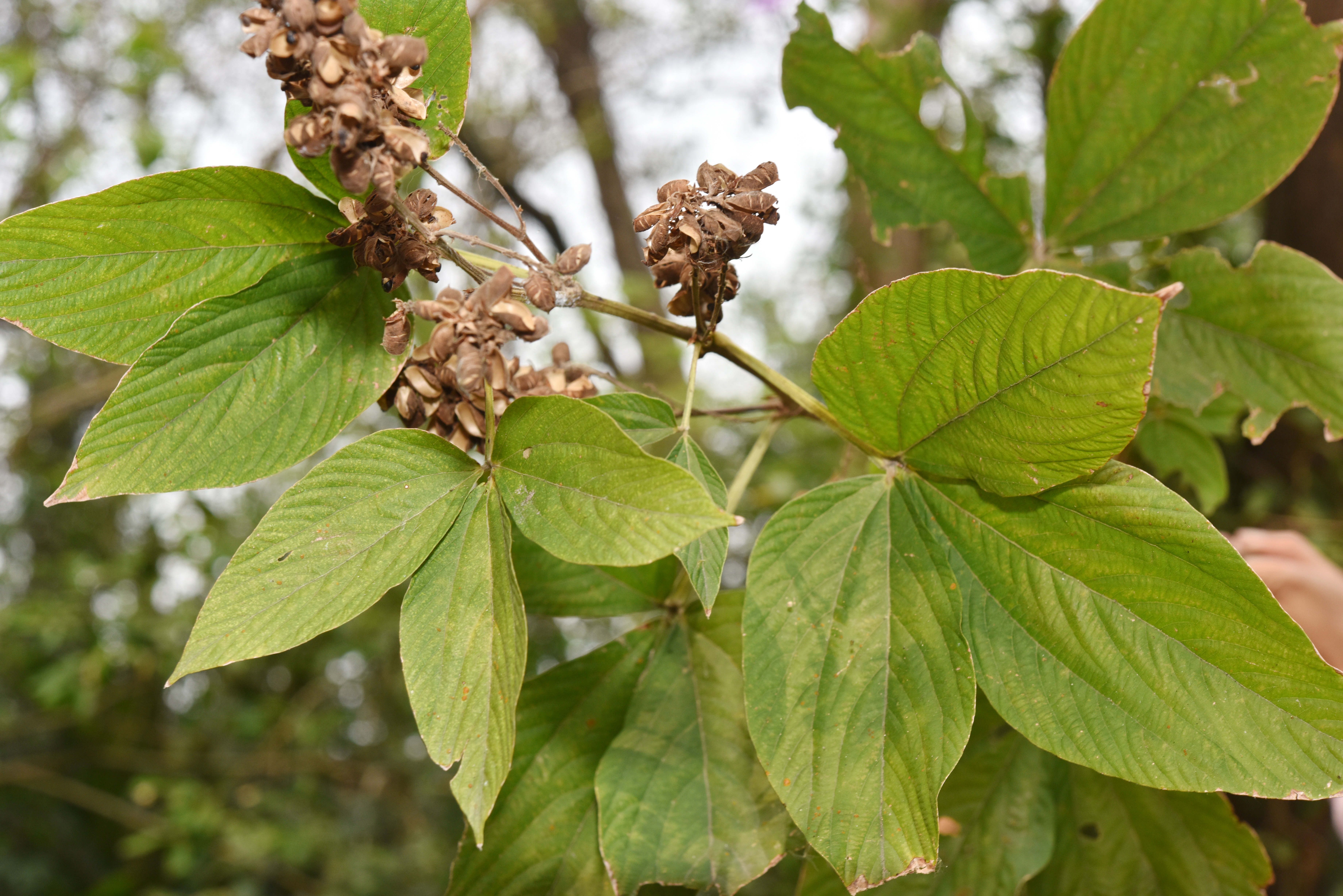Flemingia macrophylla Images - Useful Tropical Plants