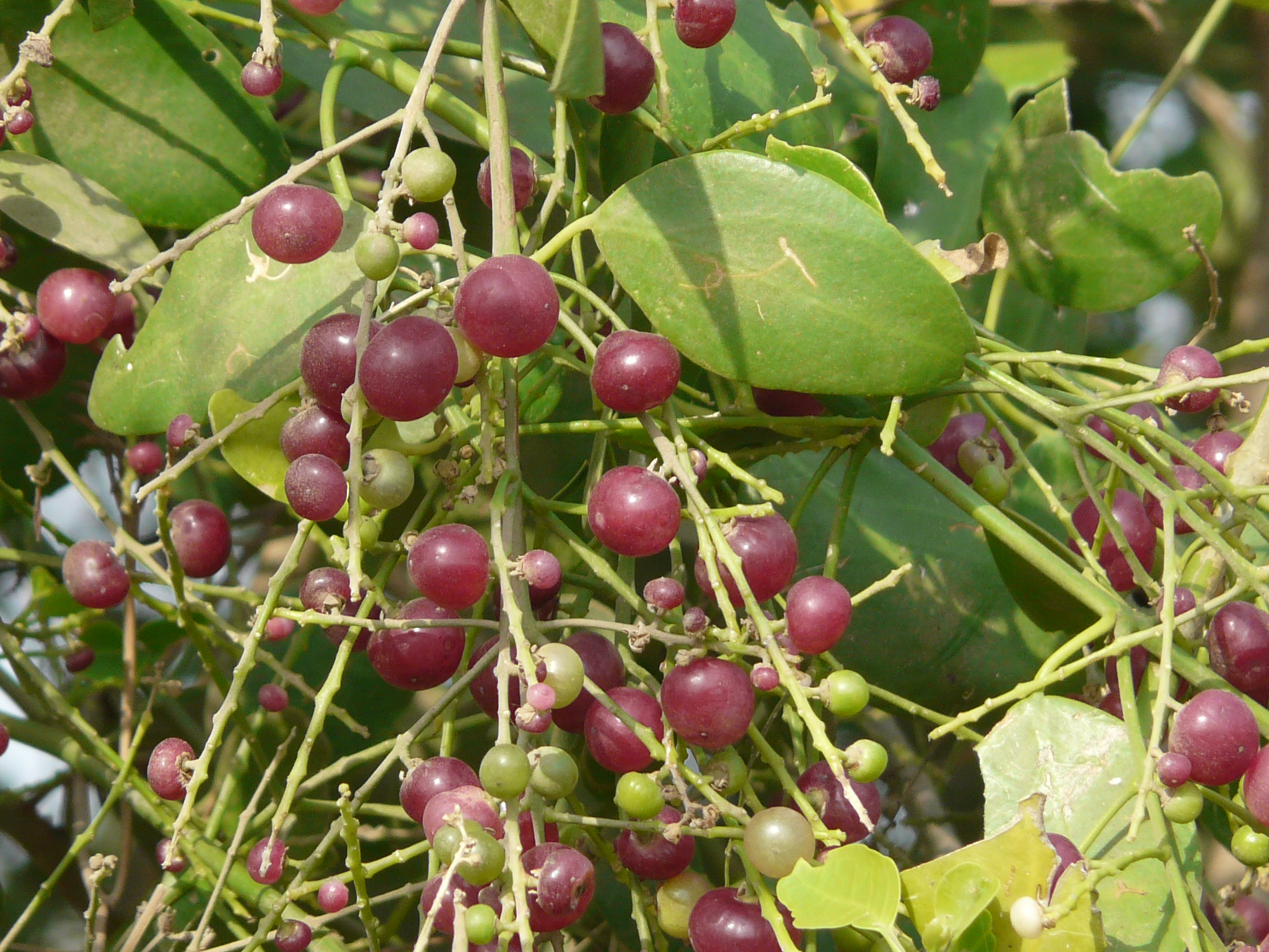 Jade Plant as well Hainan Island further Image moreover Image in addition Stock Image Pile Ginseng Fruits Image4750671. on growing tropical fruits