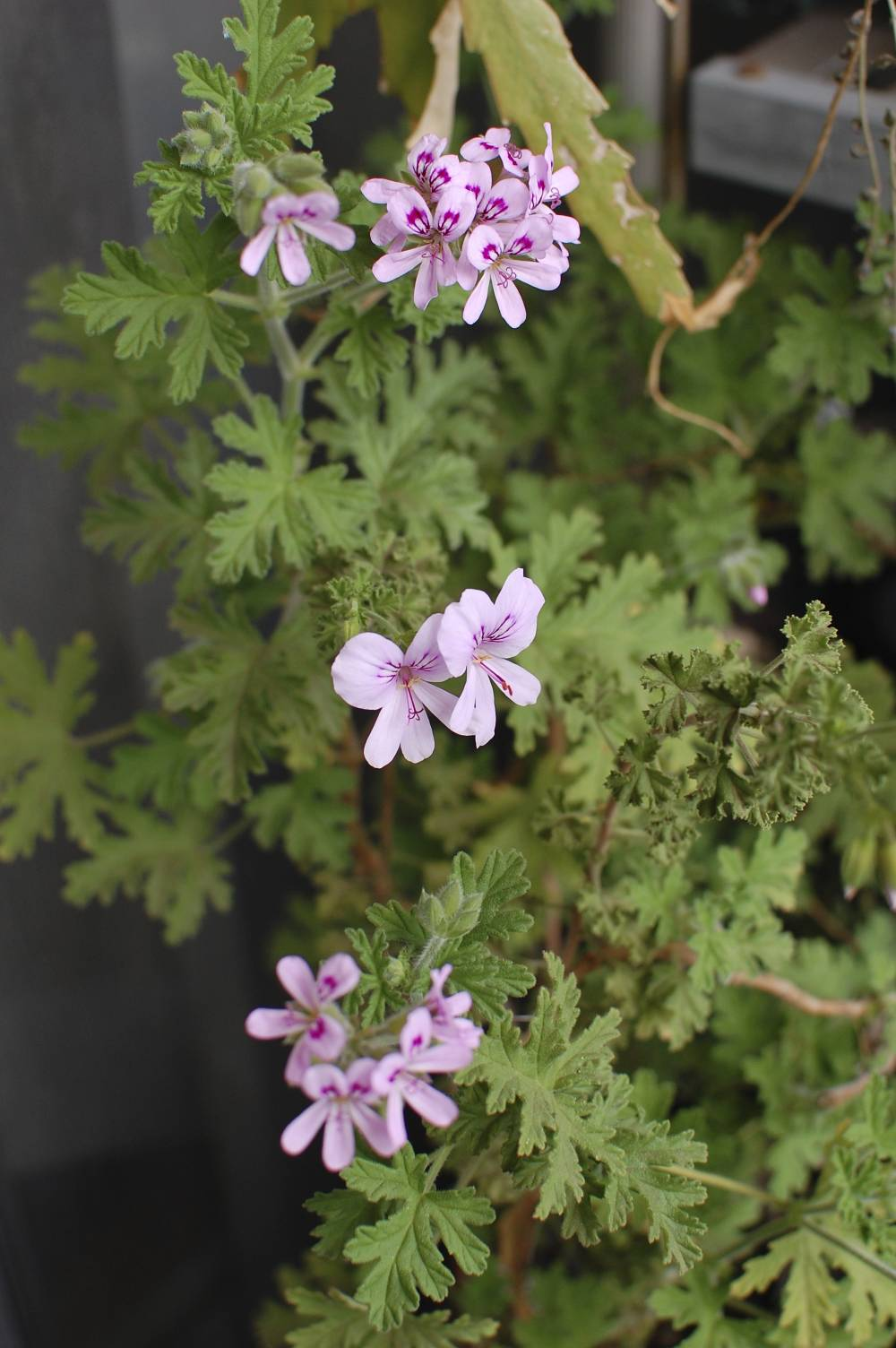 Pelargonium graveolens Images - Useful Tropical Plants