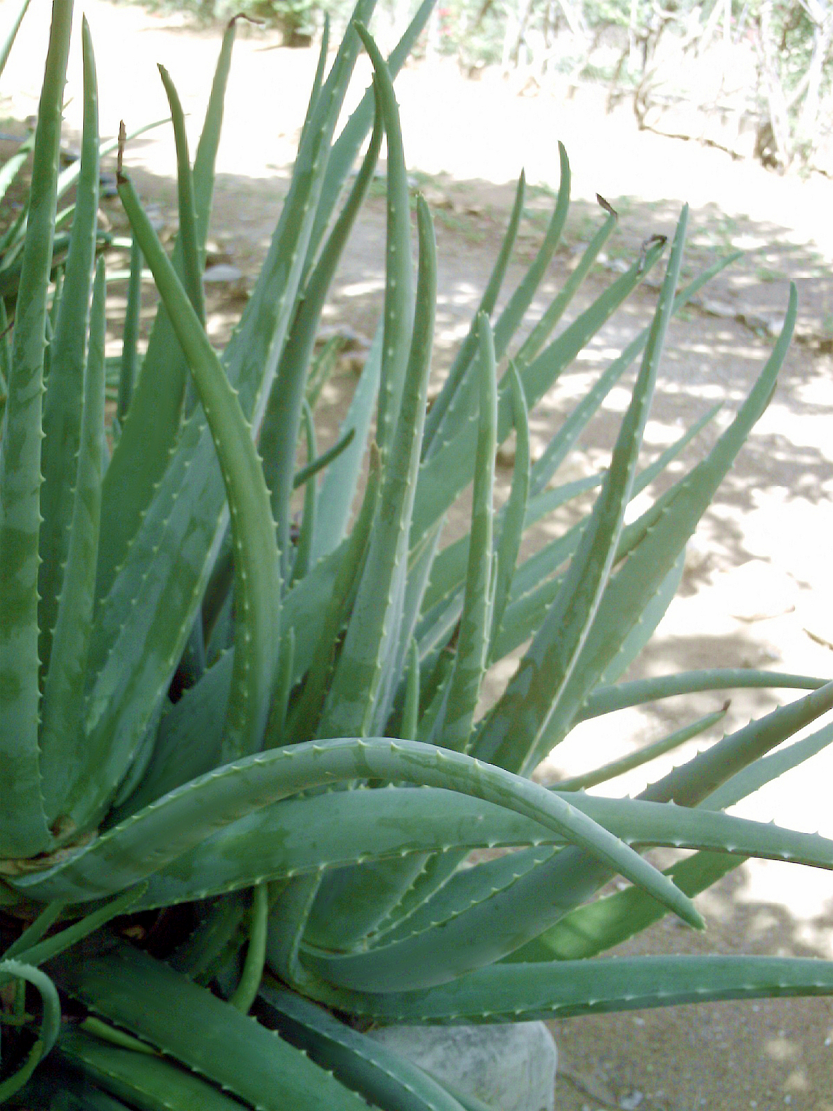 Aloe Vera Images Useful Tropical Plants