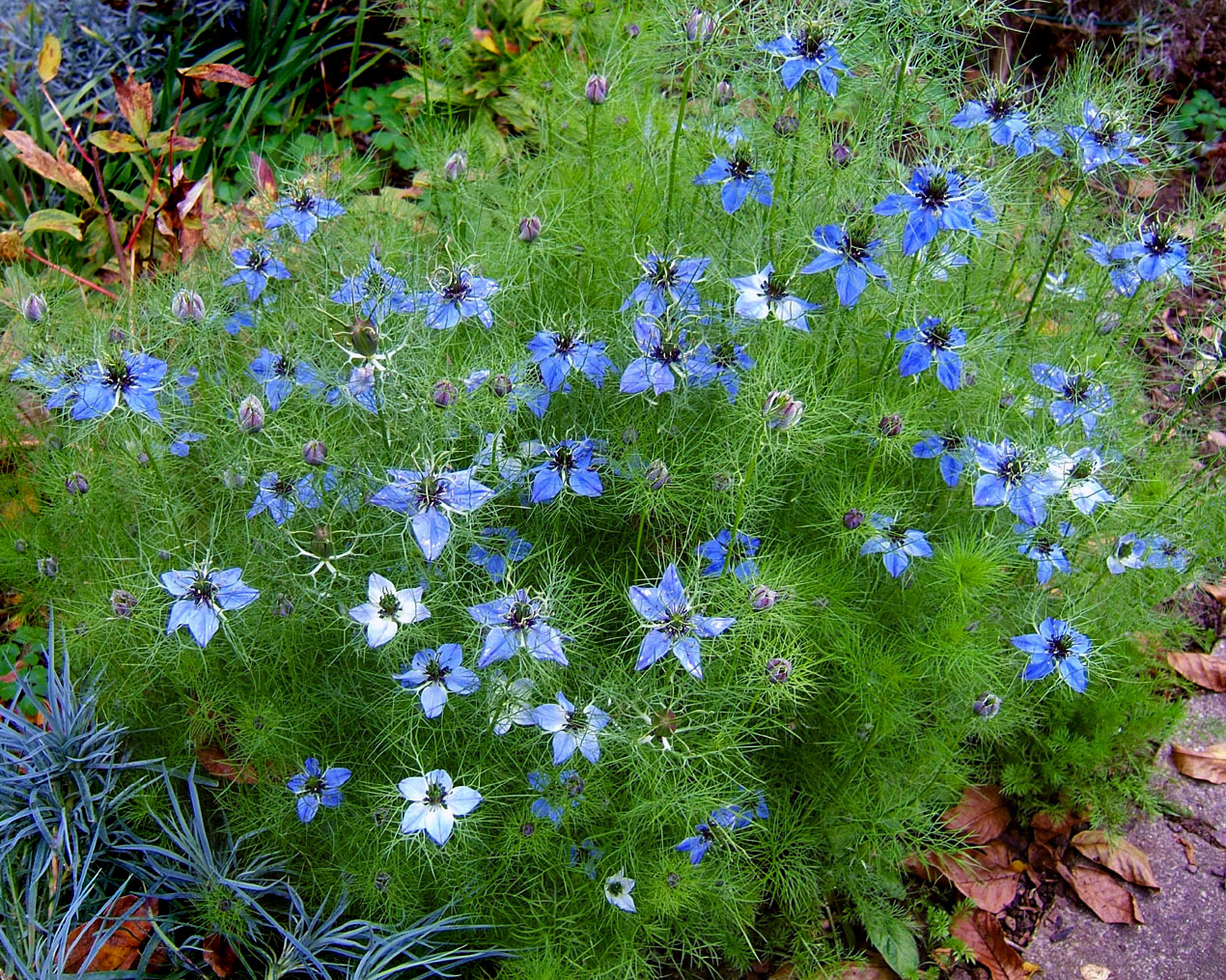 Nigella damascena images useful tropical plants - Nigelle de damas ...
