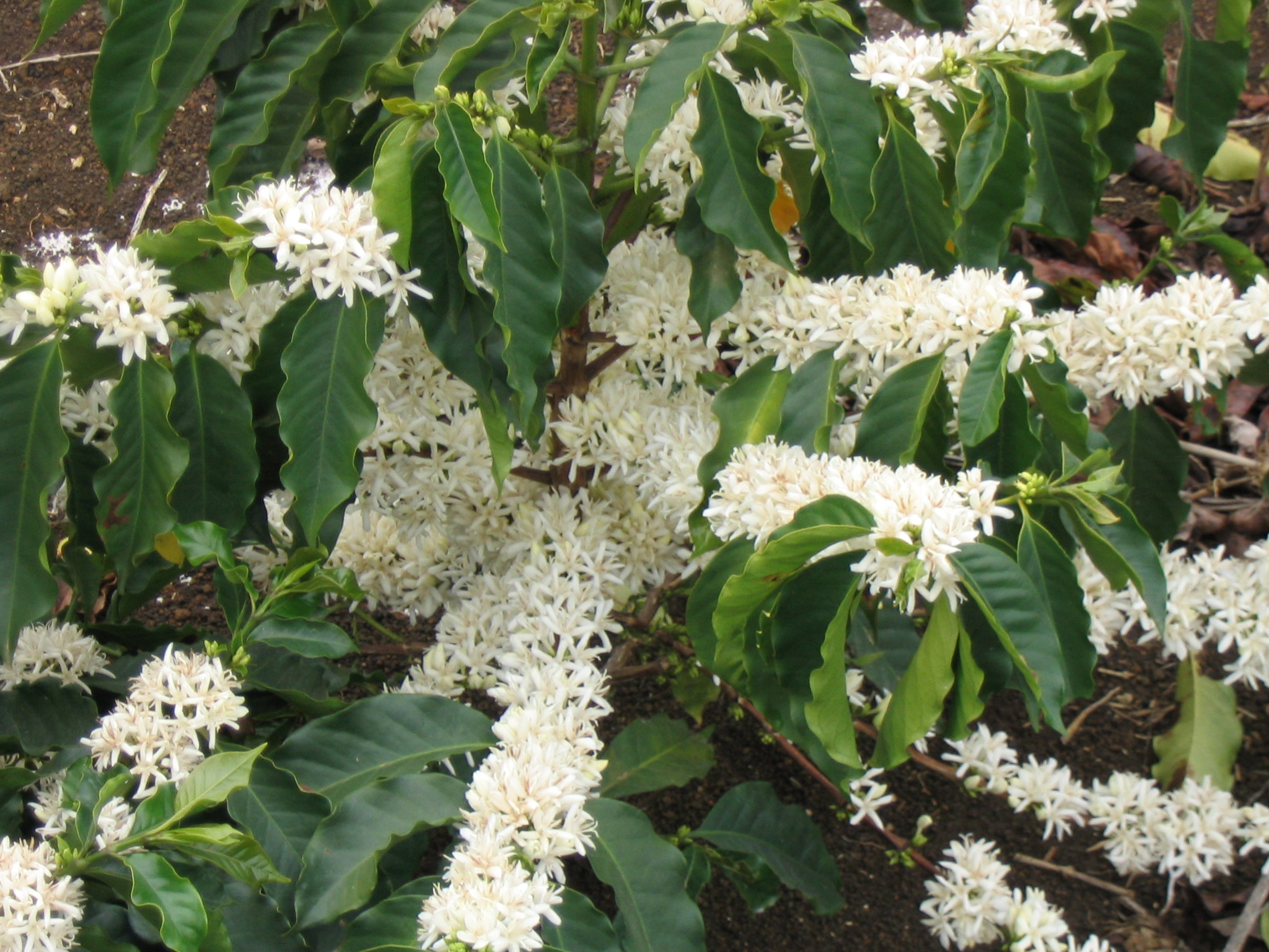 Coffea arabica images useful tropical plants flowering branches photograph by marcelo corra creative commons attribution share alike 30 mightylinksfo