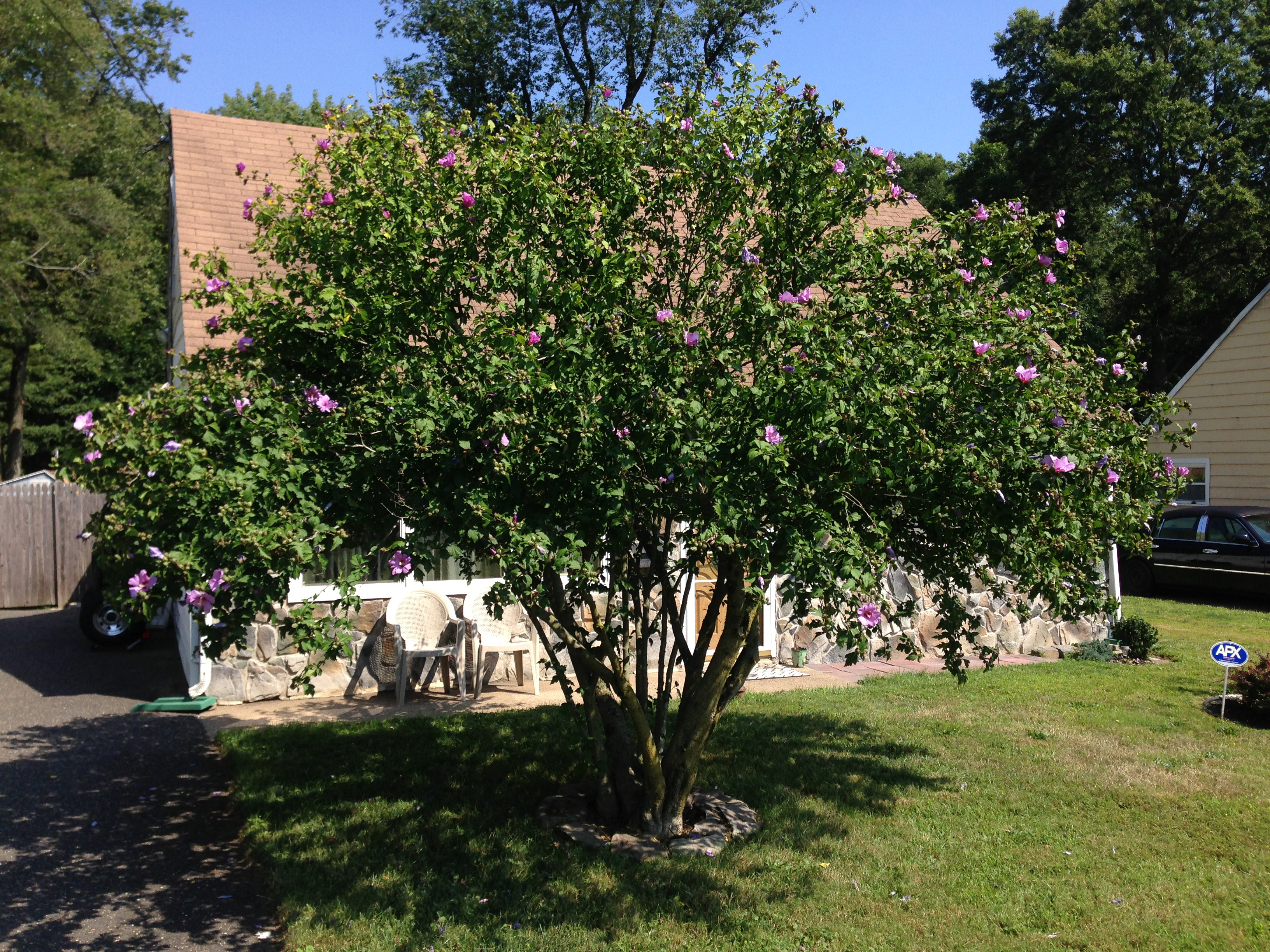Hibiscus syriacus - Useful Tropical Plants