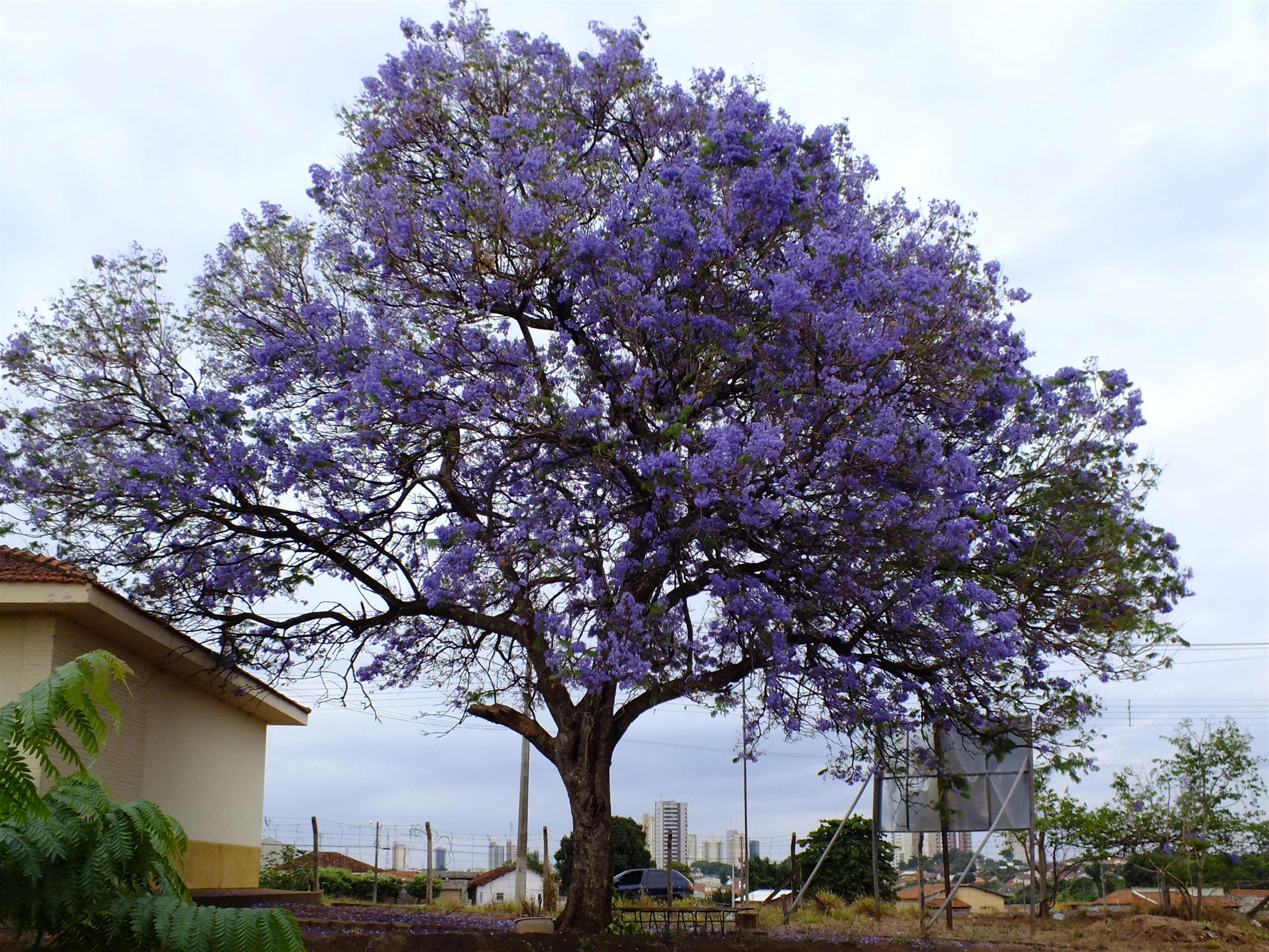 Jacaranda caroba Images - Useful Tropical Plants