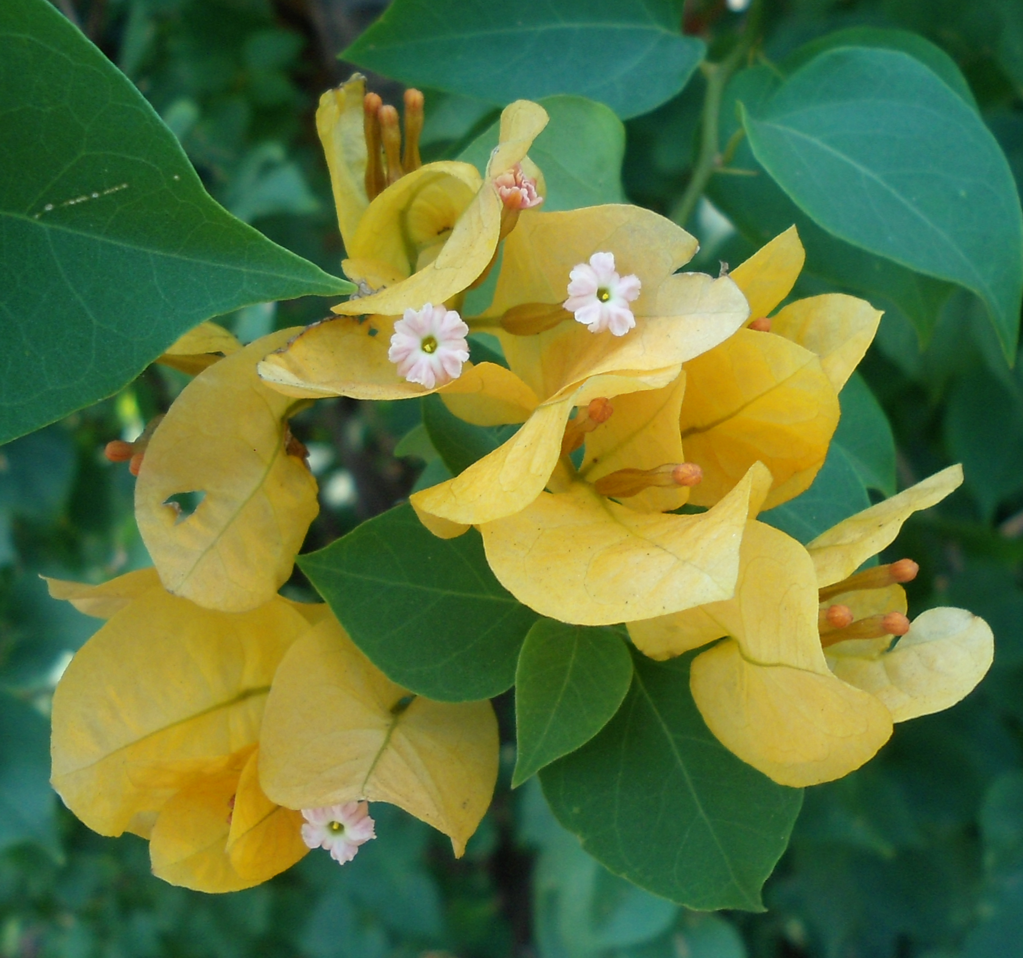 Bougainvillea glabra Images - Useful Tropical Plants