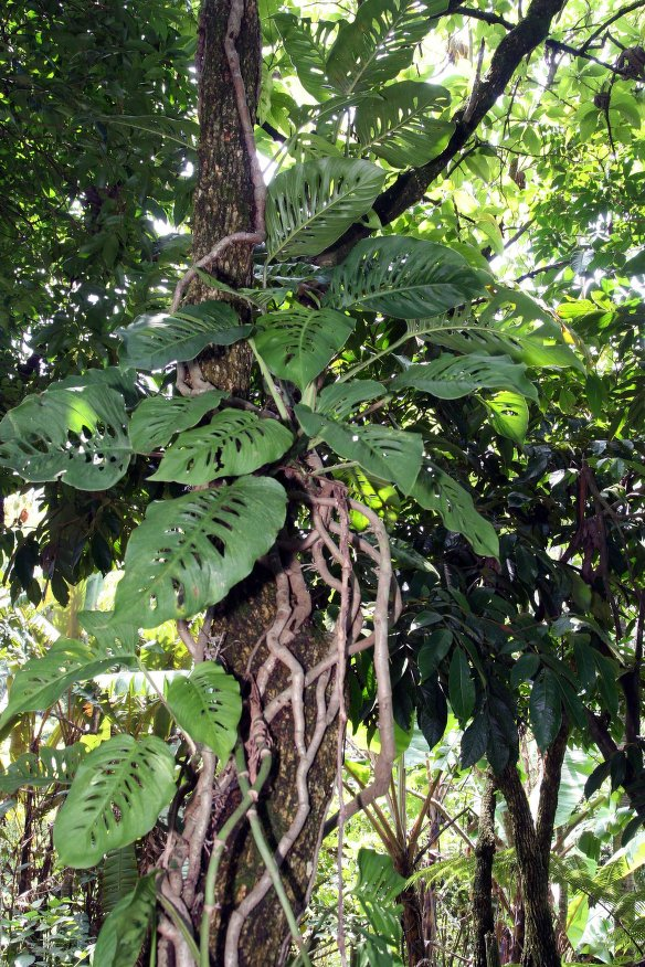 Monstera adansonii images useful tropical plants for Plante monstera