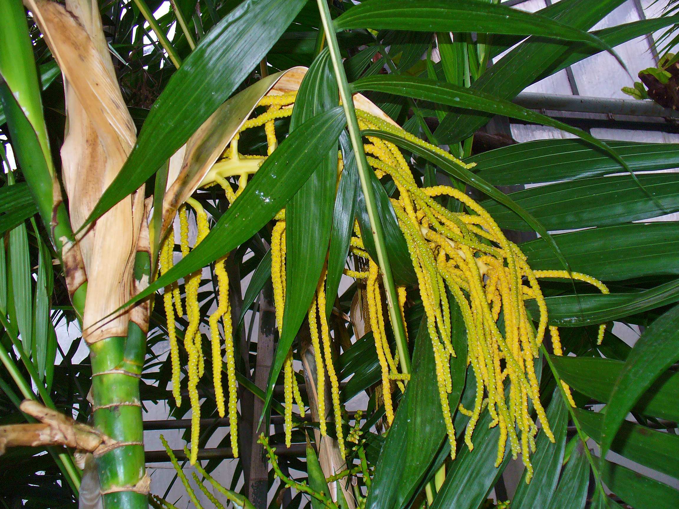 Image further Dwarf Mango Palmer Tree as well Image moreover Showy Medinilla Medinilla Magnifica further Passionfruit Banana Vine. on growing tropical fruits