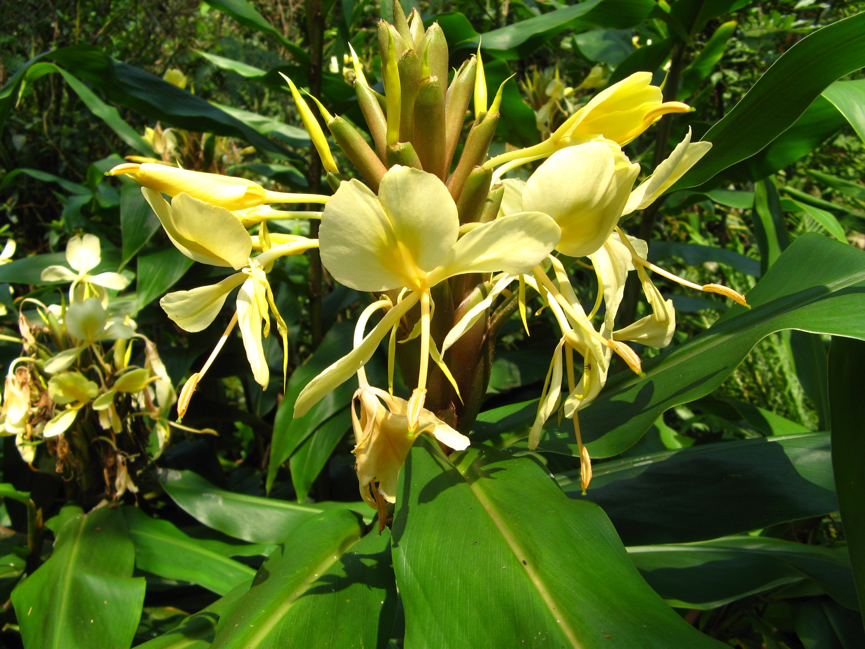 Hedychium coronarium Images - Useful Tropical Plants