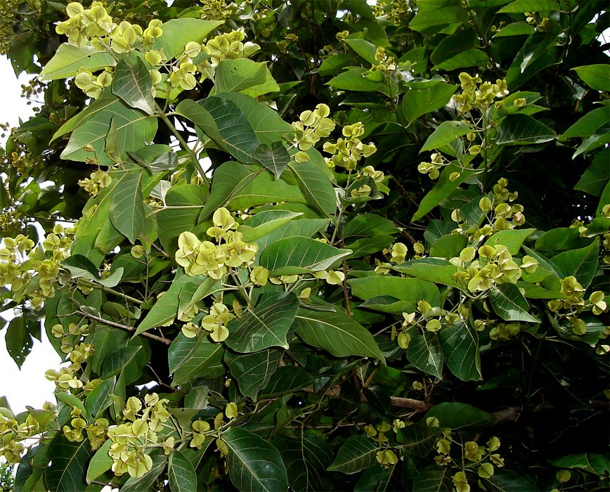 Combretum leprosum images useful tropical plants for Garden information sites