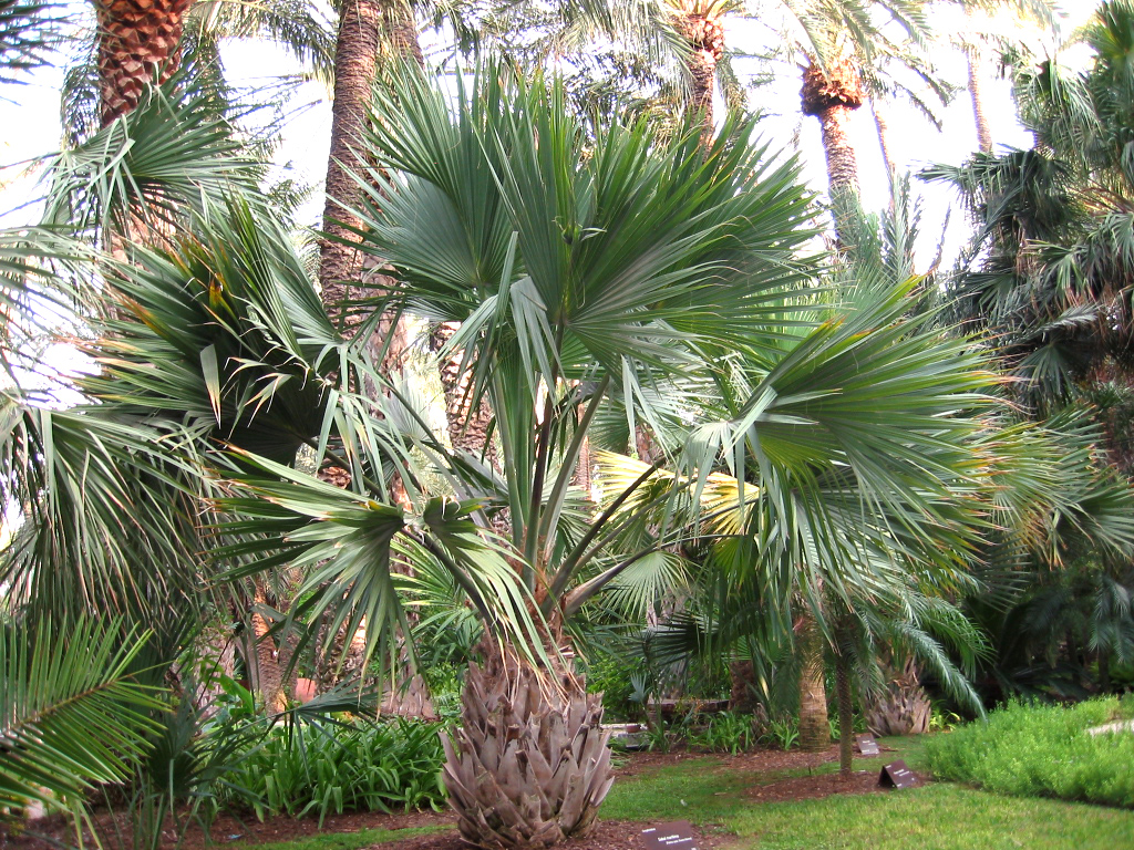 Sabal causiarum | Identifying Commonly Cultivated Palms