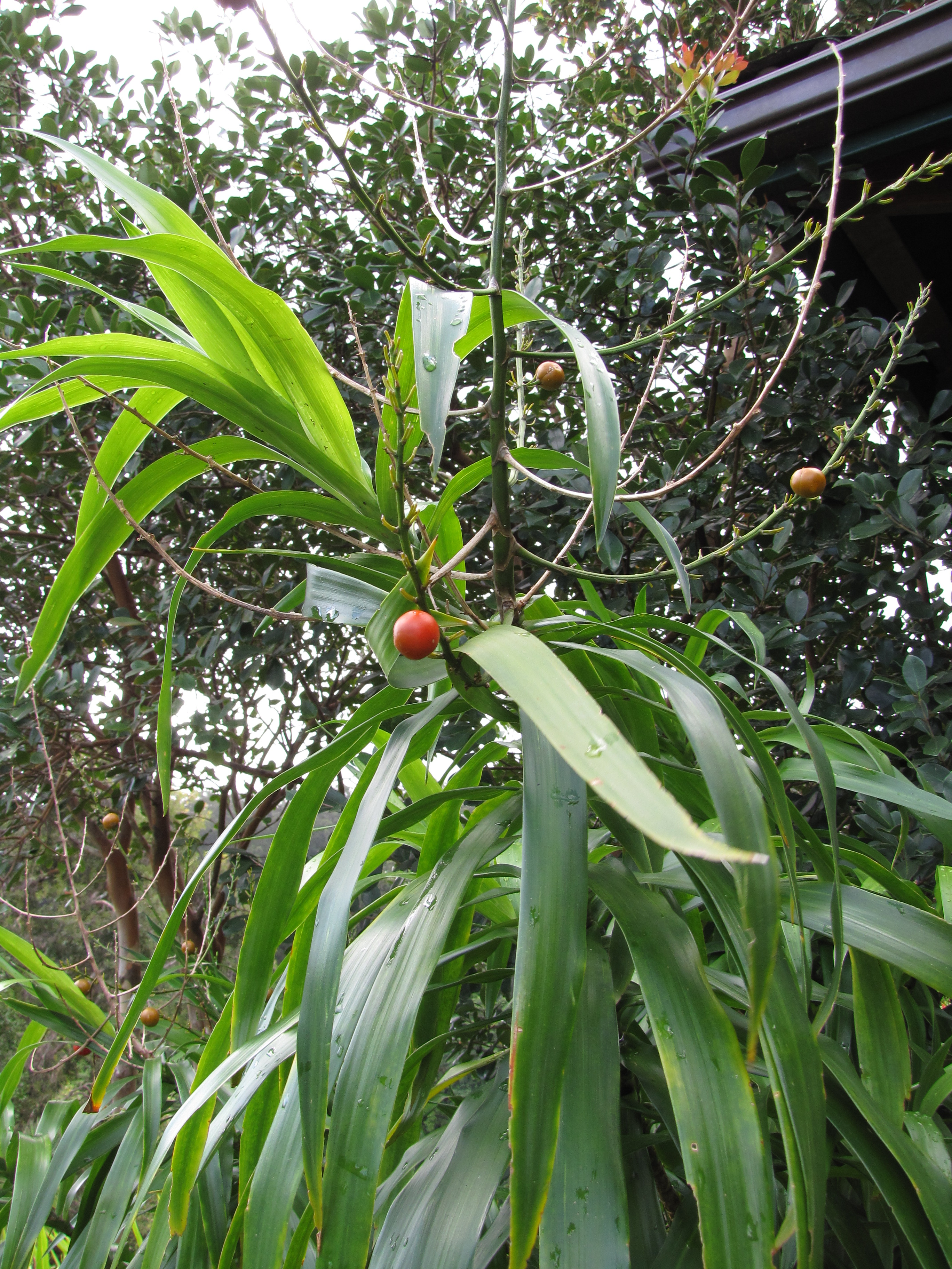 Dracaena angustifolia images useful tropical plants for Garden information sites