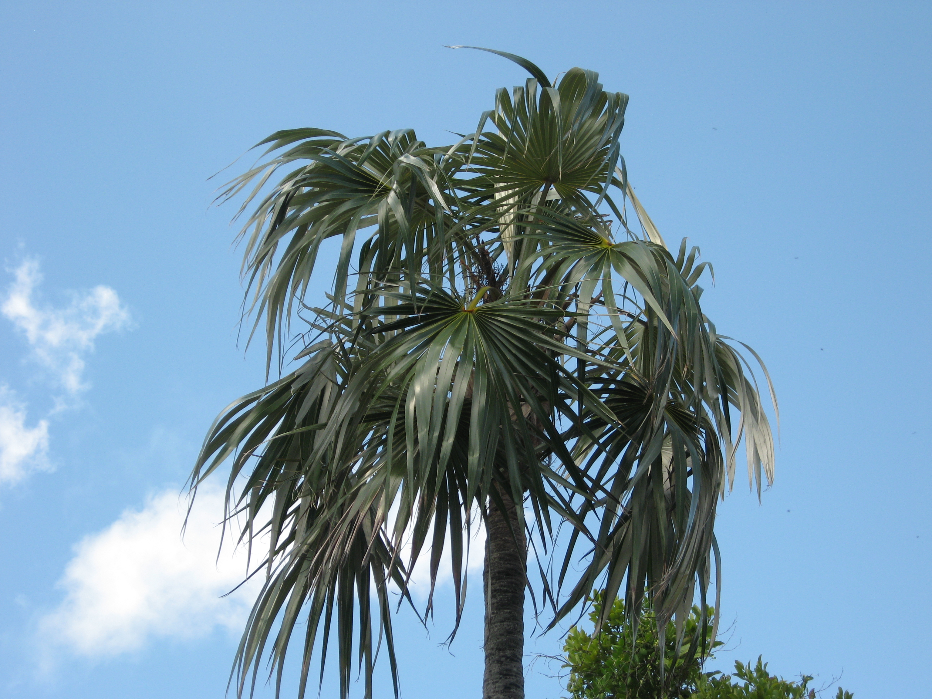 Coccothrinax Argentata Images Useful Tropical Plants