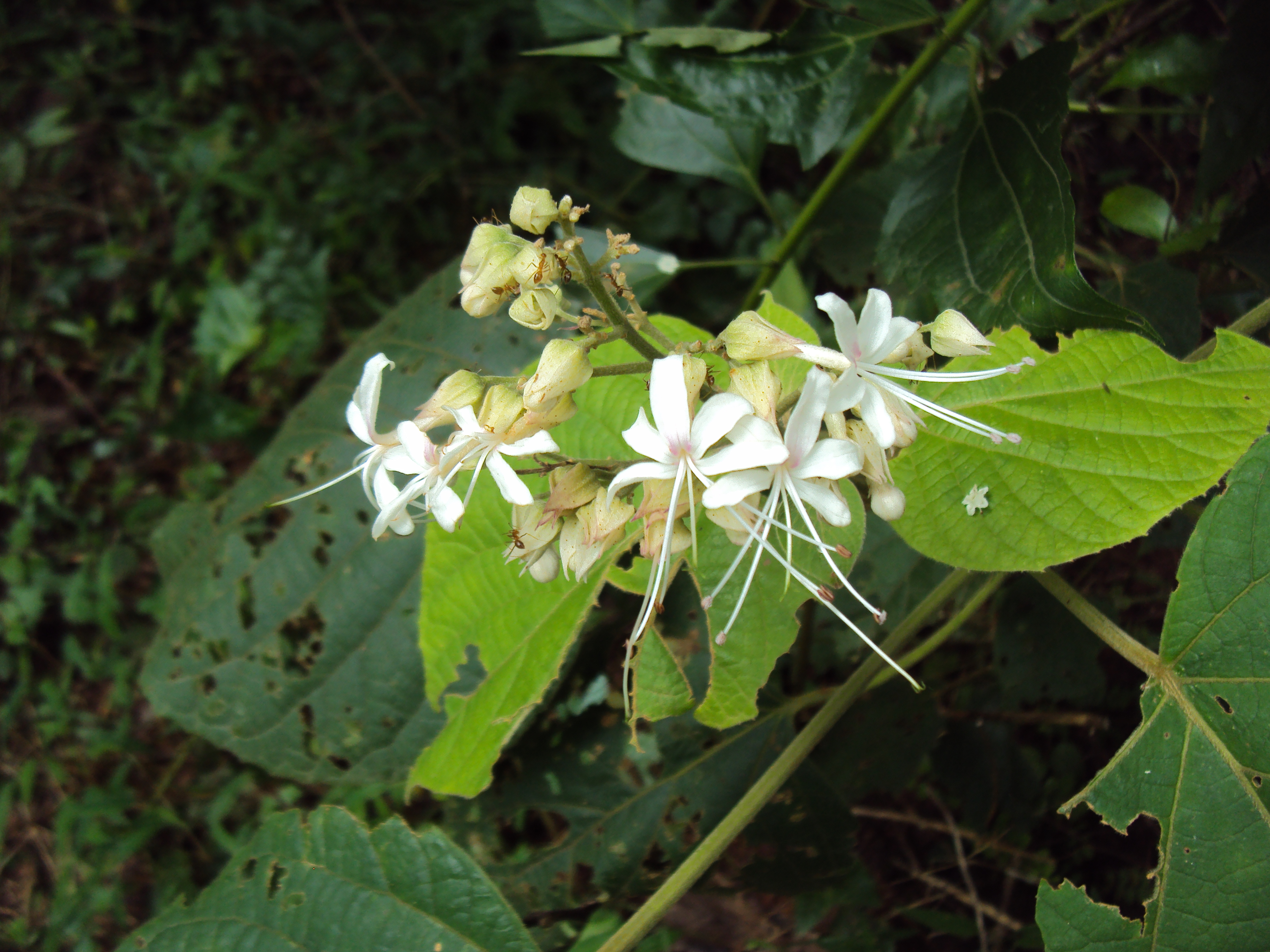 Clerodendrum Infortunatum Images Useful Tropical Plants