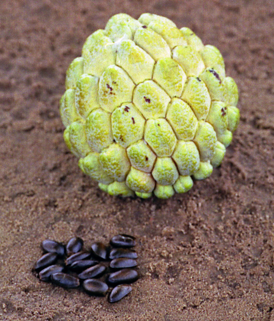 Annona squamosa Images - Useful Tropical Plants