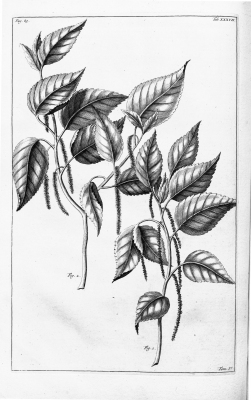 Acalypha amentacea