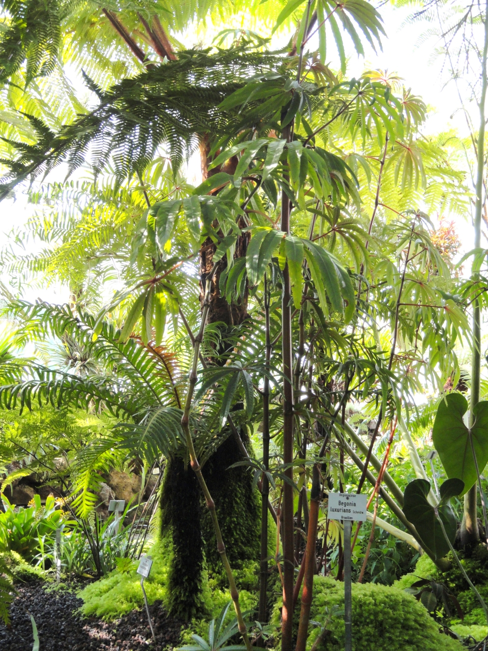 Useful Tropical Plants: Begonia Luxurians Images