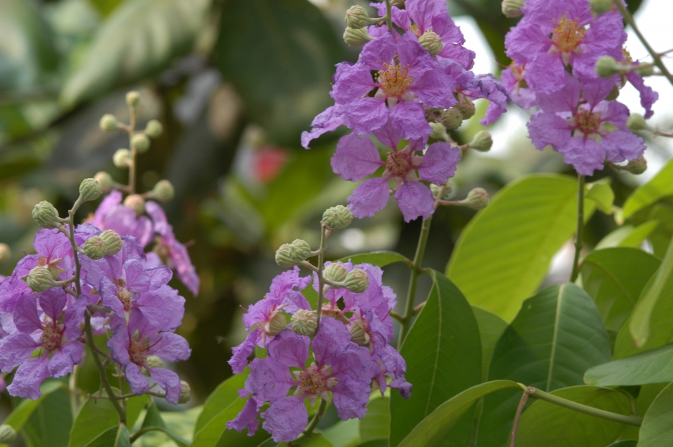 Lagerstroemia Speciosa Images Useful Tropical Plants
