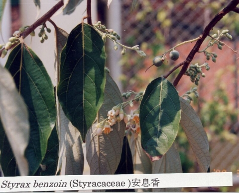 Styrax benzoin - Useful Tropical Plants