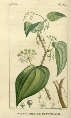 Smilax officinalis