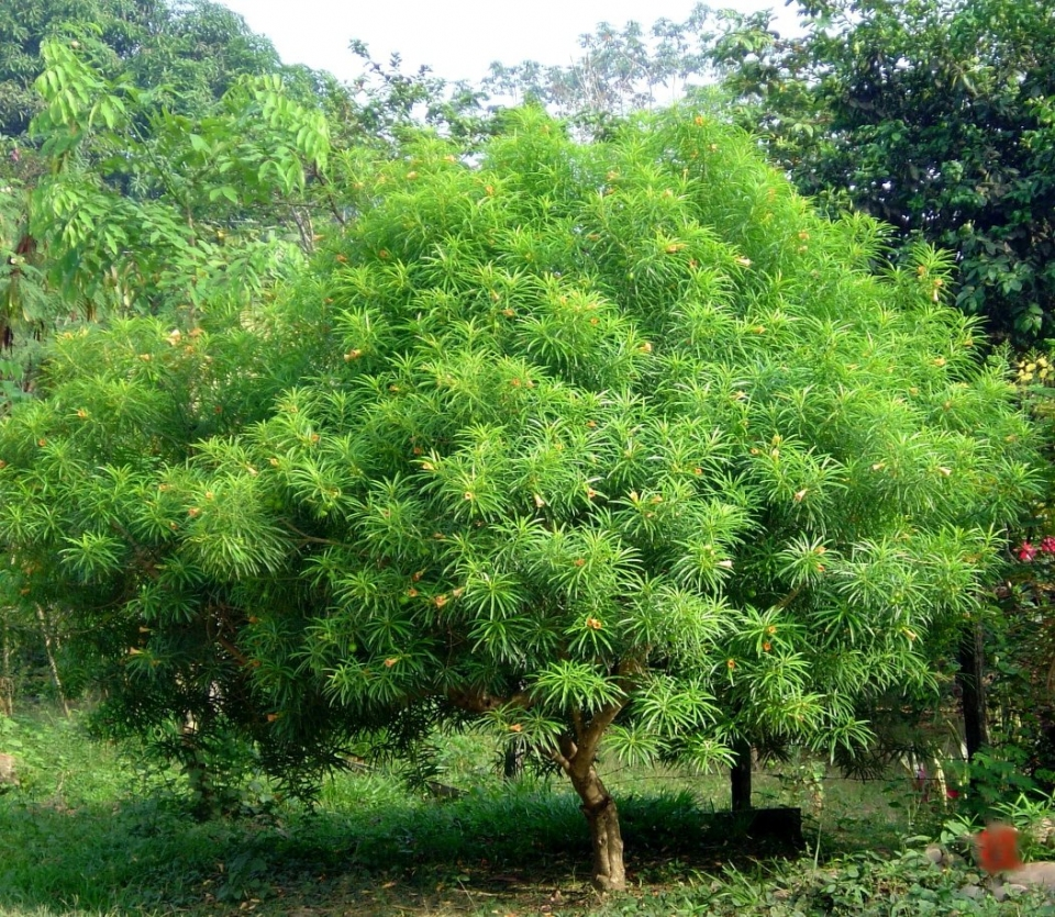 Thevetia peruviana images useful tropical plants for Tree nursery