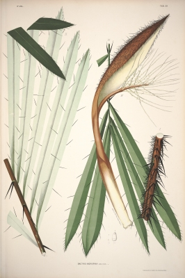 Bactris bidentula
