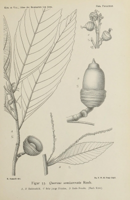 Quercus semiserrata