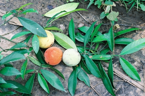 Garcinia kola - Useful Tropical Plants