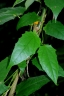 Melanthera scandens