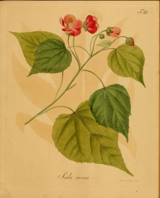 Abutilon purpurascens