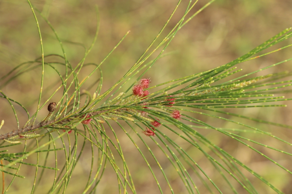Casuarina Equisetifolia Images Useful Tropical Plants