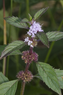 Mentha canadensis - Useful Tropical Plants