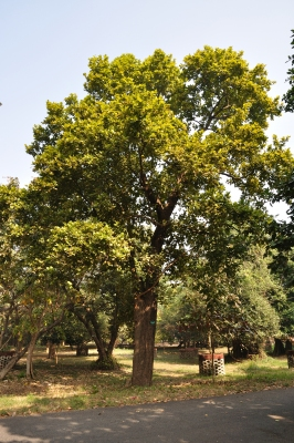 Shorea robusta