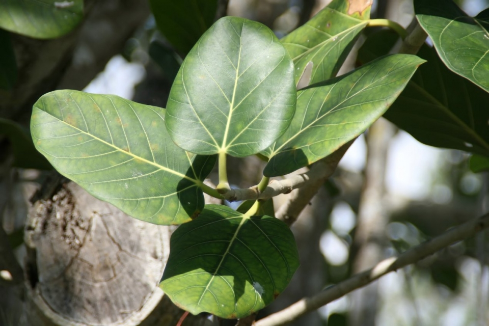 ficus benghalensis images