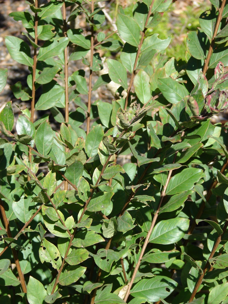 lagerstroemia indica images   useful tropical plants