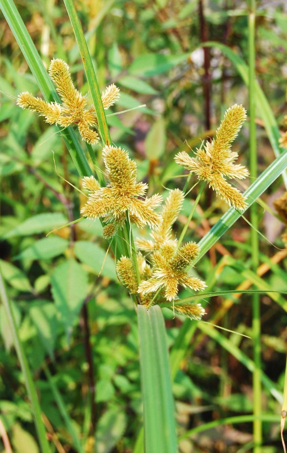 Useful Tropical Plants: Cyperus Malaccensis Images