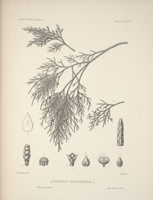 Juniperus barbadensis