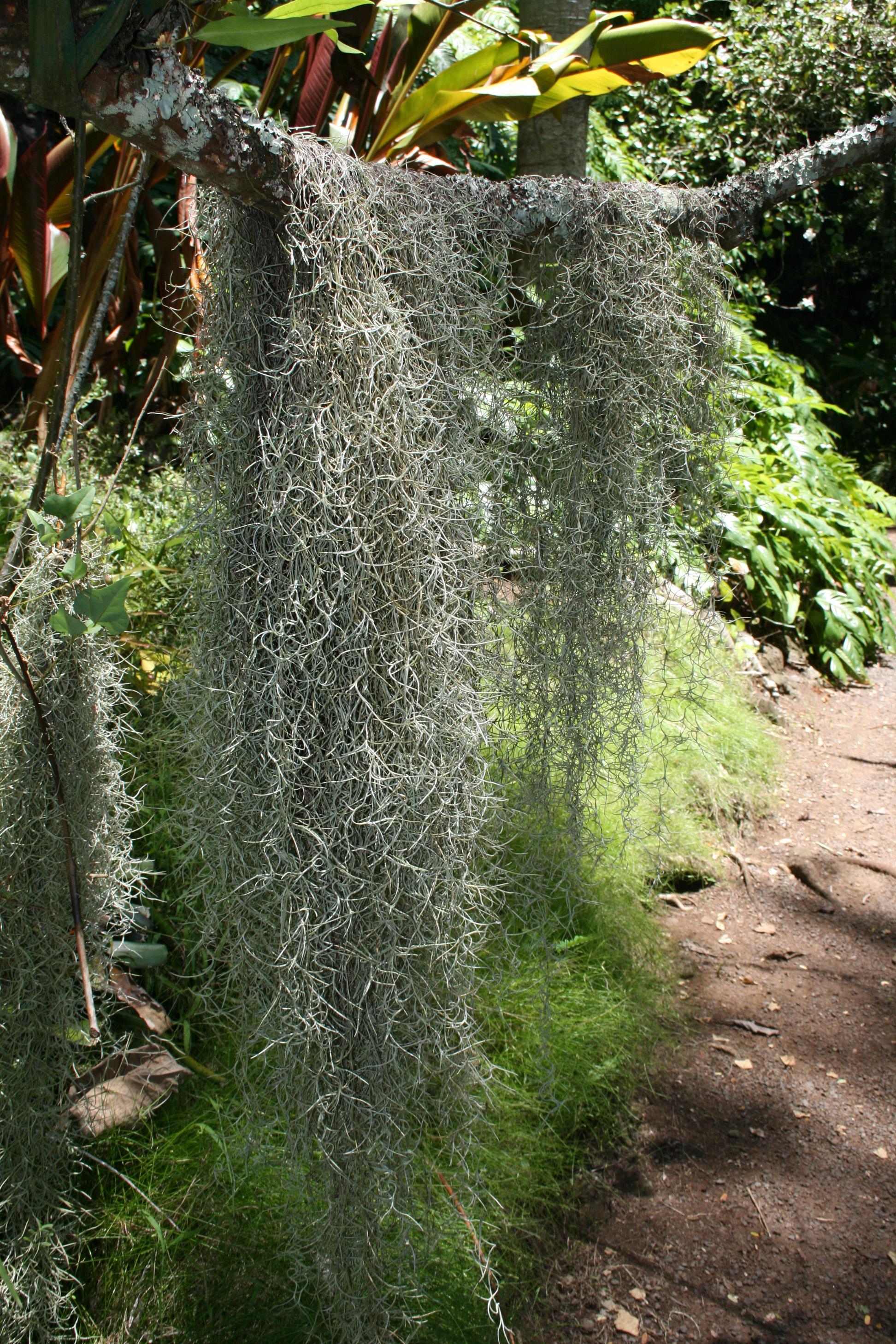Tillandsia usneoides Images - Useful Tropical Plants