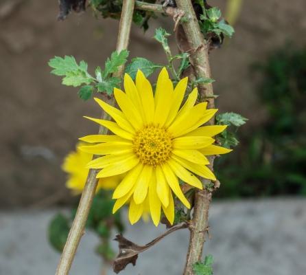Berühmt Chrysanthemum indicum - Useful Tropical Plants &XG_78